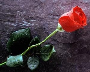 bunga-mawar-300x245