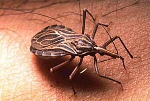 serangga triatoma